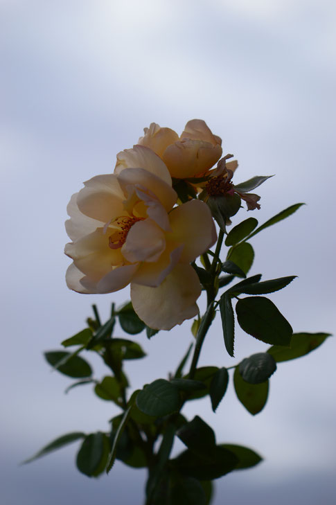 wollerton old hall, rose, english rose, david austin, amy myers, photography, small sunny garden, desert garden