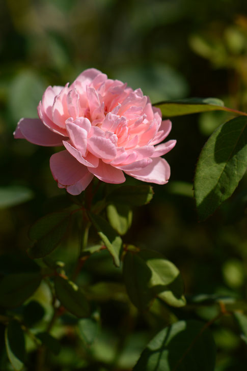 small sunny garden, amy myers, desert garden, garden bloggers bloom day, the alnwick rose