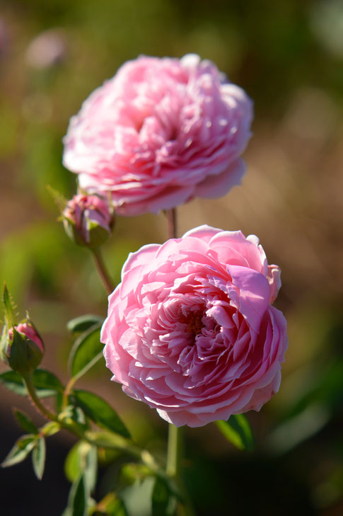 the alnwick rose, rose, english, david austin, small sunny garden, amy myers, desert garden, october