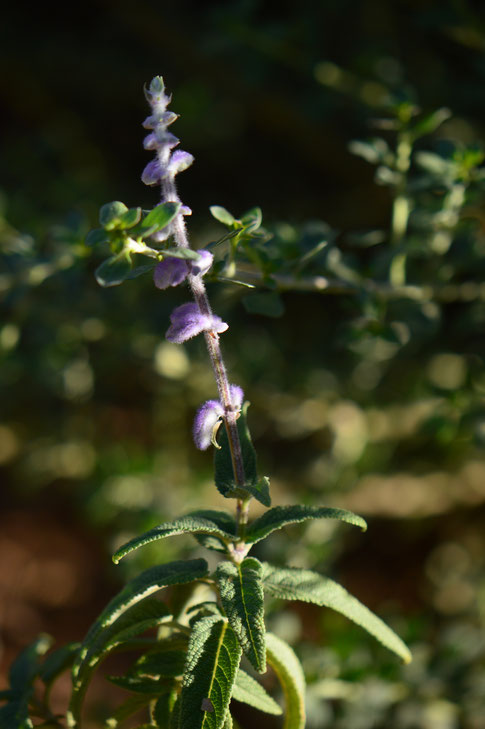 small sunny garden, desert garden, amy myers, tuesday view, autumn bloom, salvia, santa barbara, leucantha