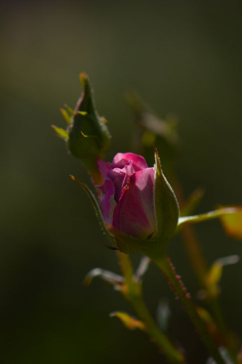 rose, amy myers, photography, small sunny garden, desert garden, miniature rose, kordes
