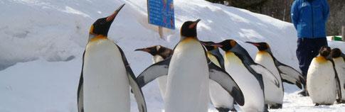 旭山動物園のペンギンの行進