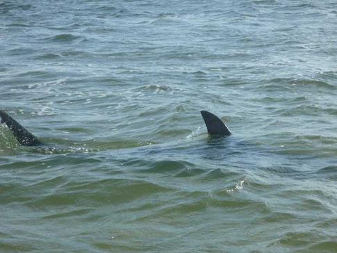 requin marteau de la taille du dinghy