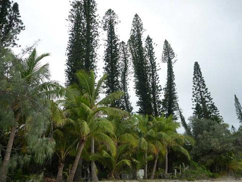 pins colonaires typiques de l'île des Pins