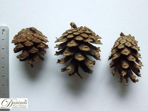 Kiefernzapfen in verschiedenen Größen