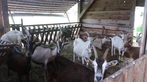 Die Ziegenherde von Bauer Henry