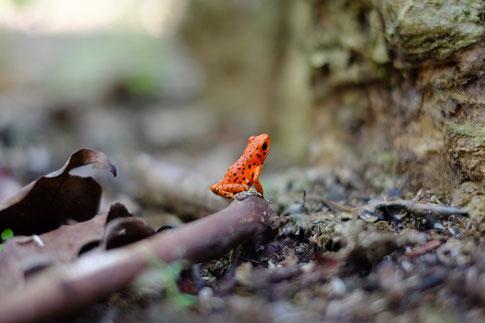 Rot-bunter Frosch im Wald
