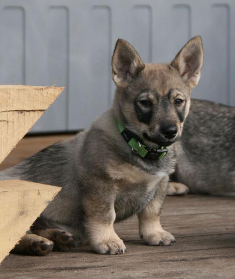 Tinus, 11 weken oud! Wat een geweldig hondje is dit!