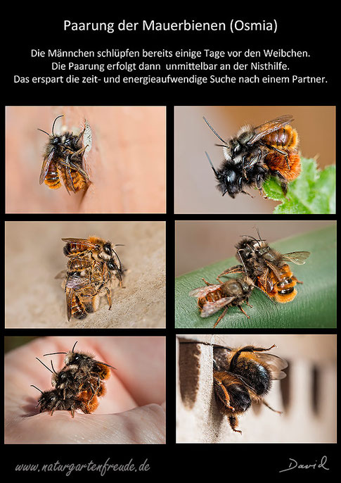 Paarung Rote Rostrote Mauerbiene Gehörnte Mauerbiene Osmia cornuta Osmia bicornis Insektenhotel Insektennisthilfe Schautafel poster wild bee red mason be bee hornfaced bee insect hotel Insect nisting aid