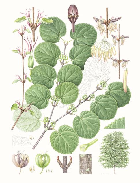 Cercidiphyllum magnificum       540x340mm
