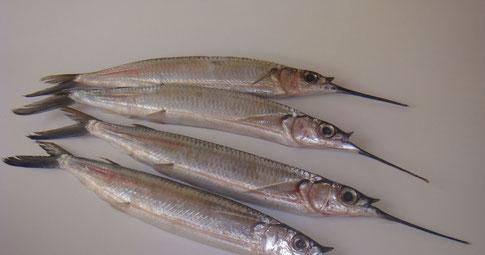 Peixe agulha branca