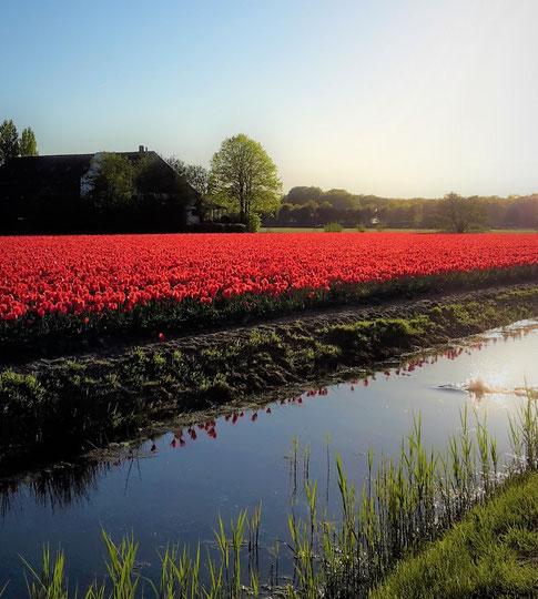 Fotoparade - die schönsten Fotos von Reisezielen in Europa - Tulpenfelder in Lisse nahe des Keukenhofs in den Niederlanden