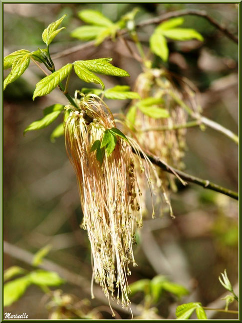 Erable Negundo avec fleurs mâles et jeunes feuilles, flore Bassin d'Arcachon (33)