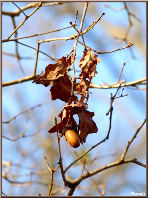 Glands de Chêne Pédonculé asséché sous le soleil hivernal, flore Bassin d'Arcachon (33)