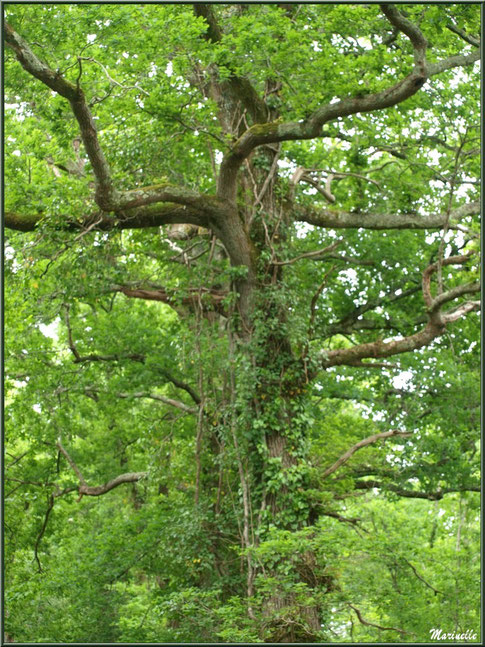 Chêne Pédonculé aux branches telles des bras de déesse, flore Bassin d'Arcachon (33)