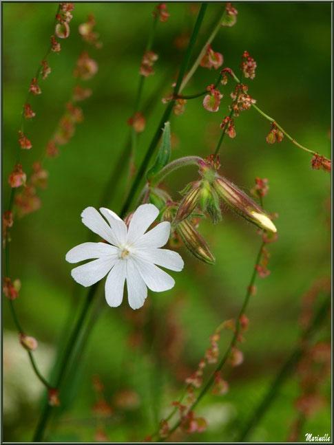 Compagnon Blanc sur fond d'Oseille des Prés, flore Bassin d'Arcachon (33)