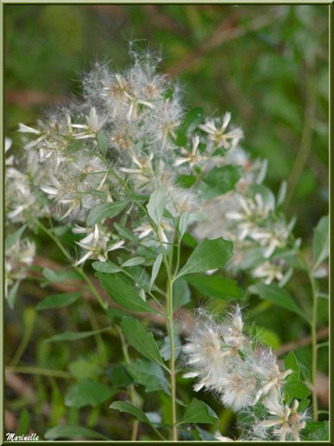 Baccharis ou Faux Cotonnier au vent, flore Bassin d'Arcachon (33)