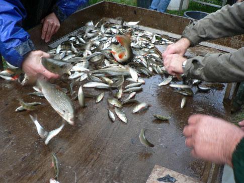 Trie du poisson à la vidange de l'étang de Miel