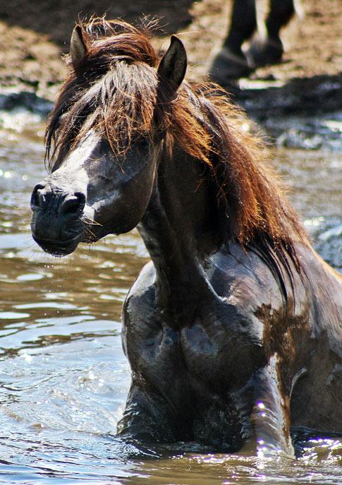 Dülmener Wildpferd (Foto Karin Biela)