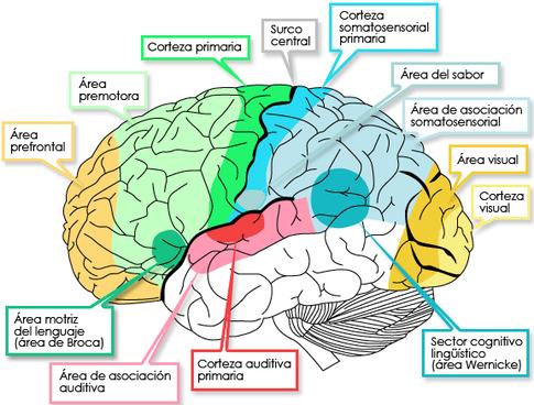 El sistema somatosensorial comprende un complejo del organismo que consiste en centros de recepción y proceso, cuya función es producir modalidades de estímulo tales como el tacto, la temperatura, la propiocepción y la nocicepción.