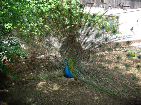 Franz-Ludwig unser blauer Pfauenhahn