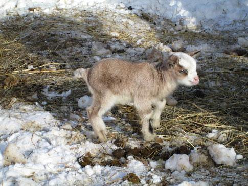 Ziegenbaby Flocke, 1 Woche alt
