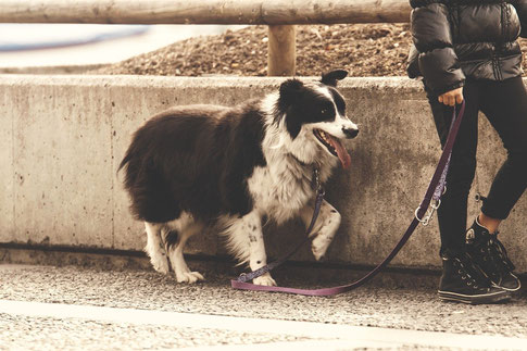 Border Collie geht an der Leine Hundetrainer Hundetraining