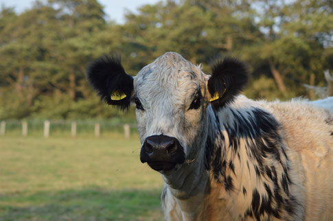 Mettwurst Paket vom Galloway Rind aus artgerechter Tierhaltung