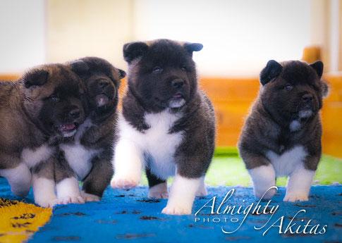American Akita Puppies  | ALMIGHTY  AKITAS kennel
