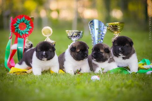 #pippies #american_akita_puppies #akita_puppies