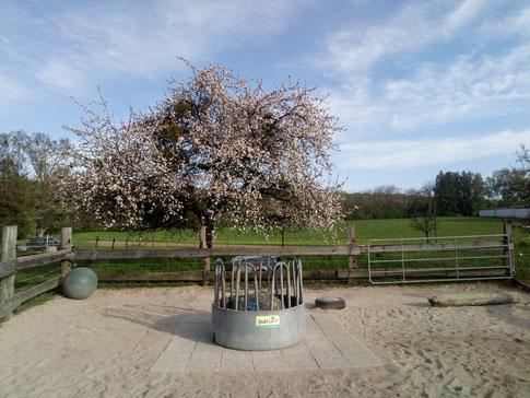 Unser wunderschön blühender Apfelbaum