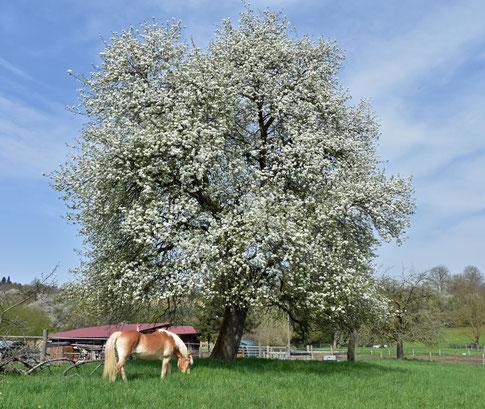 Nix Schöneres wie ein Hafi im Frühling auf sattem Grün!