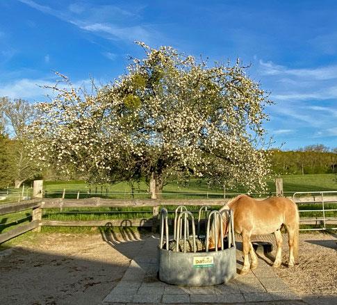 Unser wunderschöner Apfelbaum