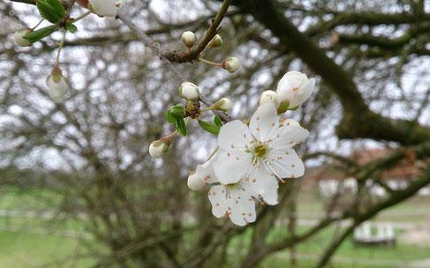 Ein Frühlingsgruß - unsere Marillenbüsche blühen schon :-)