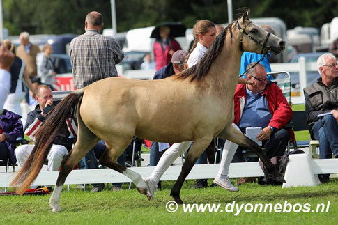 Oostdijk's Dancing Delyth and Gwendolyn during the Section B Championship at Kootwijk 2016