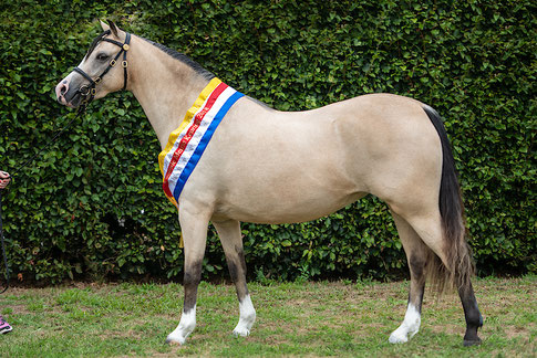 Supreme National Champion mare Oostdijk's Dancing Queen, 2014 (Stougjeshoeve Escudo x Oostdijk's Dancing Delyth) bred by Stal Oostdijk and owned by Family van Keulen