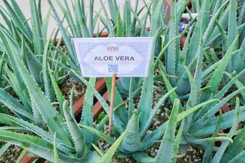 Aloe Vera Pflanzen - Foto von pixabay.com