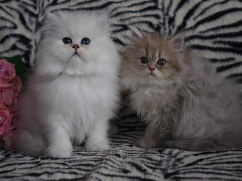 Silver-Gizmo & Blue-Maya