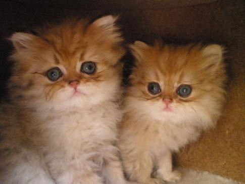 Gucci & FancyGirl, goldene Kitten