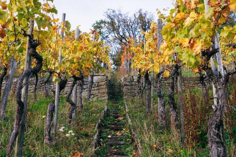 Weinbergsstaffel mit Trockenmauer und alte Reben im Weinberg von Jungwinzer Fabian Rajtschan vom Weingut 70469 Stuttgart