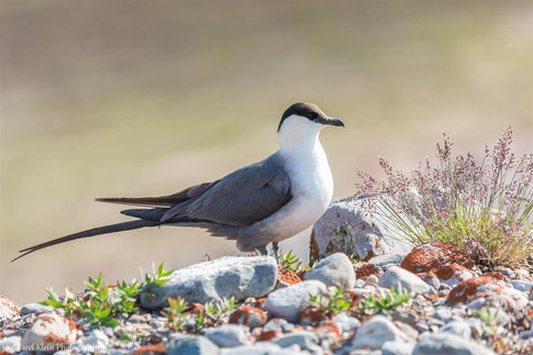 Long-tailed Skua (Stercorarius longicaudus) -- click for more skua photos