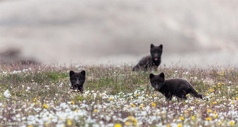 Arctic Fox (Vulpes lagopus) -- click for more arctic fox photos