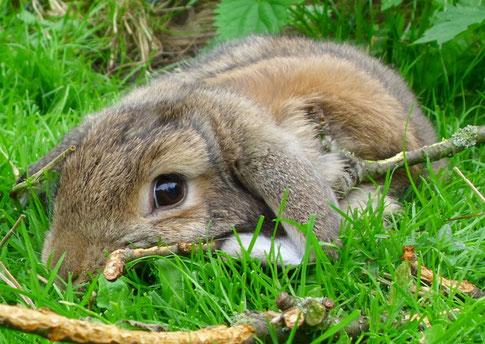 Kaninchen und Kokzidien