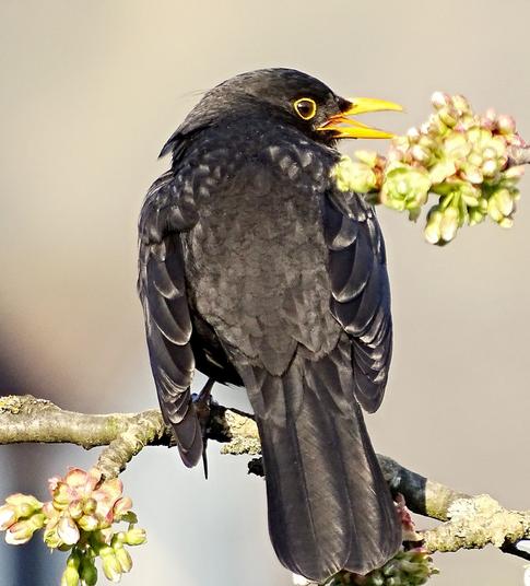 Bild: Knoblauchsud gegen die schwarze Kirschblattlaus