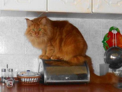 Шакира Олдблюз - кошка кастрат
