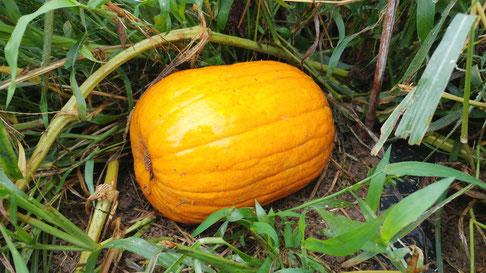 ミモレ農園 農薬不使用 ハロウィンかぼちゃ