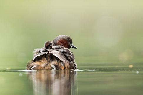 Zwergtaucher,sebastian vogel,nachwuchs,rückblick