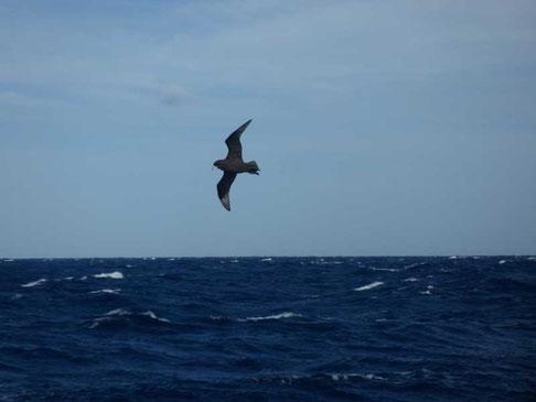 les Albatros bruns suivent notre sillage... 1,7m d'envergure quand même