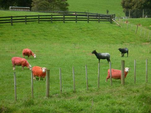 les fameux moutons roses sur la route de Whangarei
