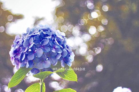 紫陽花を好む女性心理「加齢・感情」を受け止める癒しのカラーグラデーション